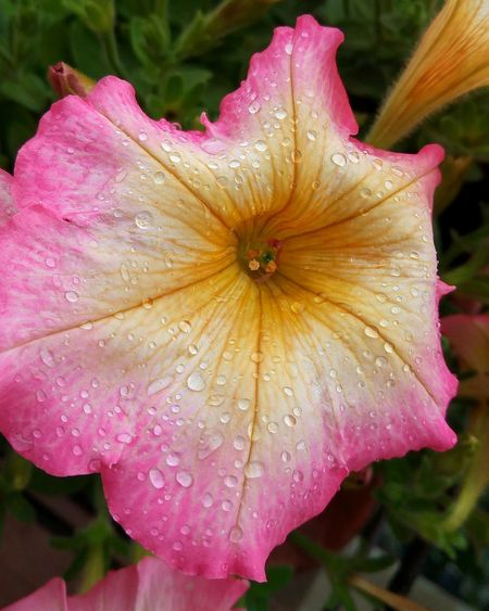 pioggia Flower