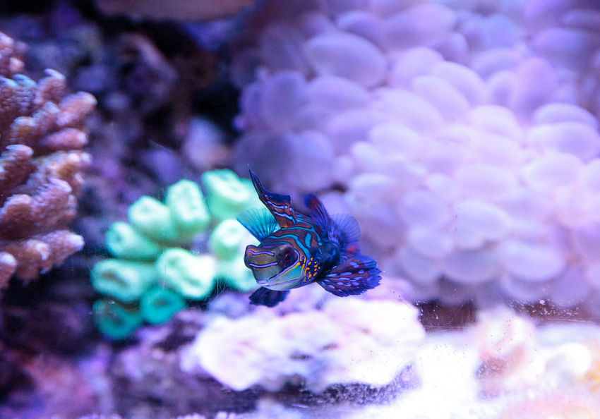 Mandarin goby is also called the Mandarin dragnet Synchiropus splandidus in a reef aquarium Animal Themes Animals In The Wild Beauty In Nature Bubble Coral Close-up Colorful Fish Coral Reef Day Fish Goby Mandarin Dragnet Mandarin Goby Nature No People Ocean One Animal Sea Life Swim Synchiropus Splandidus