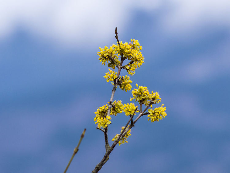 Animal Themes Ayu-Dag Ayudag Beauty In Nature Blossom Close-up Crimea,Russia Day Dogwood Flower Dogwoodflowers Flower Flower Head Fragility Freshness Gawlet Growth Nature No People One Animal Outdoors Petal Plant Sky Springtime Yellow