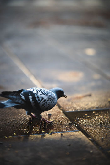 High angle view of pigeon perching on street