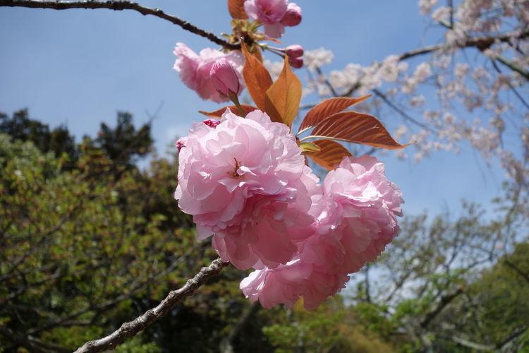 Japan Cherryblossom 🌸 Kyoto