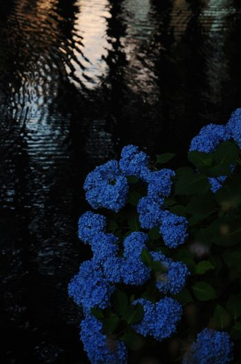 EyeEm Nature Lover Flowers Ajisai Hidorange Moat Evening Morioka Magic Hour Magic Moments Water Colour Water Reflections Flower