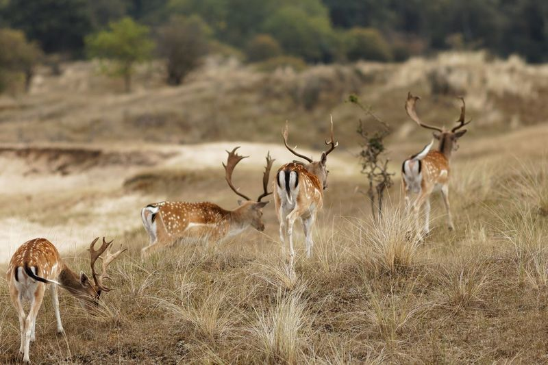 Stag Party Stags Dunes Of Holland Animals In The Wild Animal Wildlife Group Of Animals Animal Themes Animal Field Land Deer