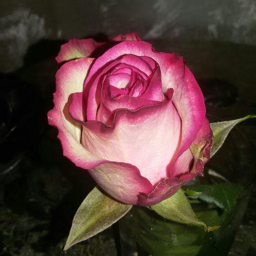 Flower Rose🌹 Rosa Fiore Fiori Love Flowers