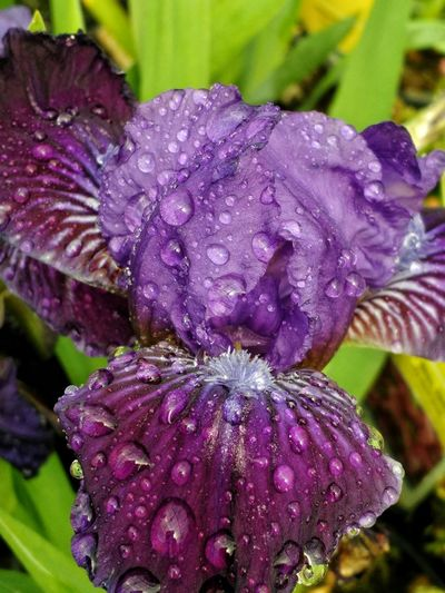 Nature Petal Focus On Foreground No People Close-up Beauty In Nature Tranquility Purple Flowers Iris Purple Iris Spring Flowers Blooms Cellphy