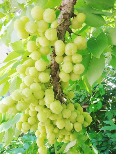 Star Gooseberry Green Color Nature Freshness Fruit Food Outdoors Beauty In Nature