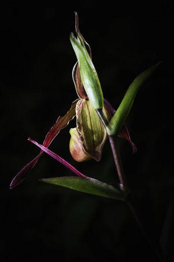 sabot de vénus orchidée, orchids flower Nature Orchids Venus Art Flower Flower Collection Orchids Collection Orchids Garden Outdoor
