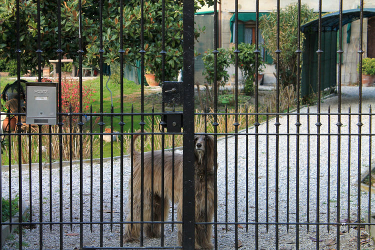 Afghan Hound Animal Themes Dog Domestic Animals Gate No People Outdoors Pets