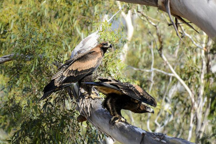 Very rare juvenile Wedge-tailed Eagles. It was taken in Melbourne, Victoria, Australia. Australia Eagle Animals In The Wild Bird Eaglet Juvenile Pair Perching Tree Wedge-tailed Eagle