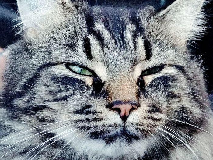 orion Orion Portrait Backgrounds Full Frame Close-up Whisker Persian Cat  Feline Domestic Cat Cat Kitten