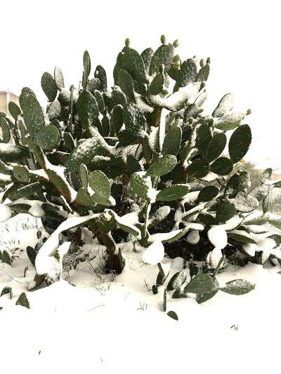 Nature Sicily Snow Fichidindia