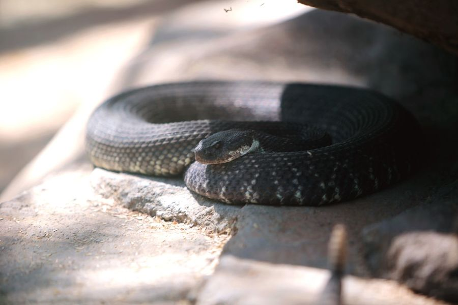 JGLowe EyeEm Selects One Animal Reptile Snake Animal Wildlife Animal Themes Animal Animals In The Wild Close-up Vertebrate Nature Selective Focus Day No People Sunlight Animal Body Part Outdoors Land