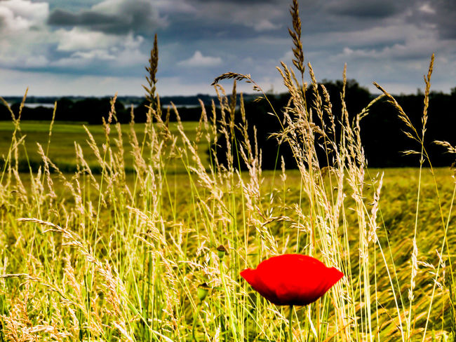 Poppy Flower Plant Field Land Red Nature Focus On Foreground Beauty In Nature No People Landscape Cloud - Sky Green Color Grass Close-up Tranquility Sunlight