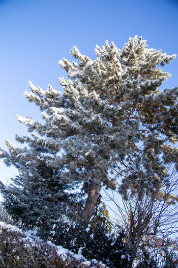 Low angle view of snow covered tree