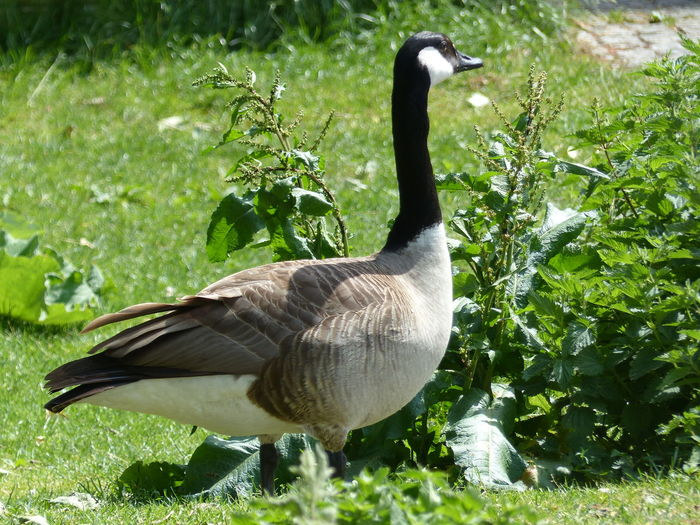 Ausschau Gans Gänsevögel Gänsegeier Beauty In Nature Ente Green Color Brown Color Bird Lake Water Grass Goose Water Bird