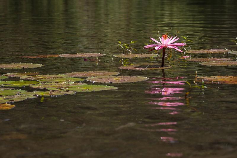 Lotus flower on