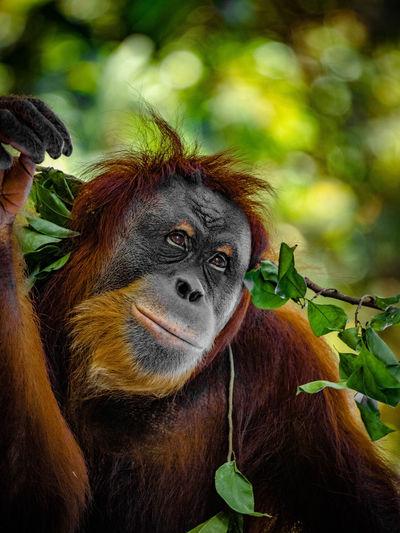 Strike a pose by orangutan