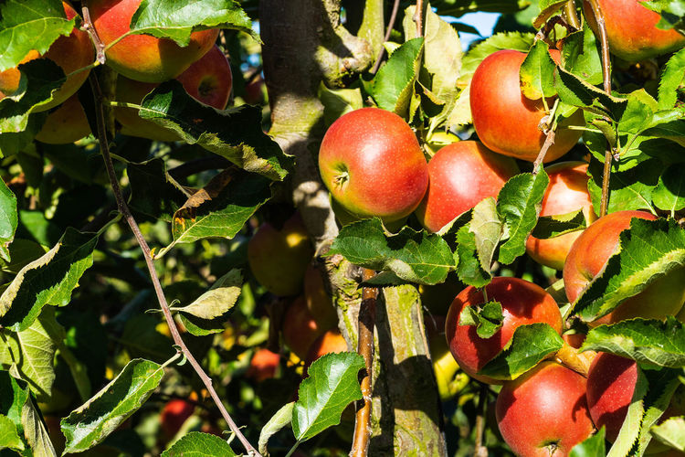 variety of apple jonagold Agriculture Apple - Fruit Apple Tree Apples Close-up Day Food Food And Drink Freshness Fruit Fruit Tree Green Color Growth Healthy Eating Jonagold Leaf Nature No People Outdoors Plant Plant Part Red Ripe Tree Wellbeing