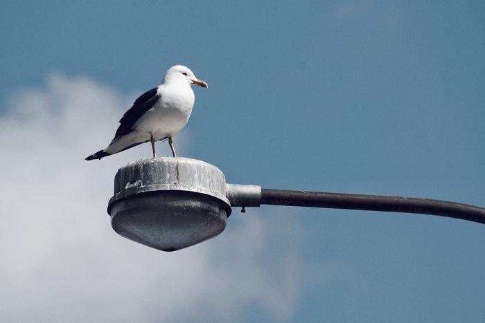 Niklas Storm Maj 2018 Bird Perching Seagull Water Animal Themes Sky Sea Bird Bird Of Prey