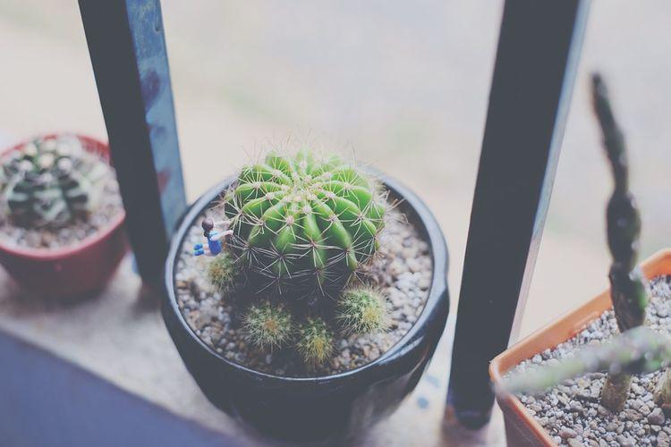 Cactus Byfaiifer Fuchiko Fuchikothailand