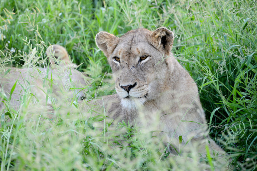 Safari in Hlane Royal National Park in Swaziland. Hlane Hlane Royal National Park Lion National Park Swaziland  Wildlife & Nature Animals In The Wild Grass Lion - Feline Lioness Nature Outdoors Relaxation Safari Safari Animals