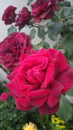 Flower Fragility Freshness Petal Flower Head Beauty In Nature Close-up Pink Color Nature Drop Wet Plant Springtime Blooming Blossom Water Rose - Flower Red Flower Red