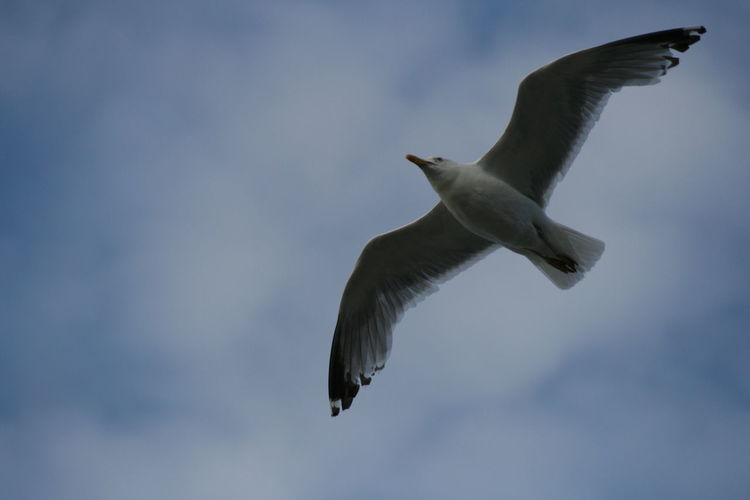 Animal Themes Animal Wildlife Animals In The Wild Beauty In Nature Bird Day Flying Low Angle View Mid-air Motion Nature No People Outdoors Sea Gull Seagull Sky Spread Wings