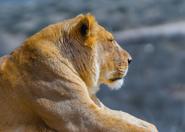 Animal Animal Head  Animal Themes Big Cat Feline Lion - Feline Lioness Looking Looking Away Mammal Nature No People One Animal Profile View Side View Whisker