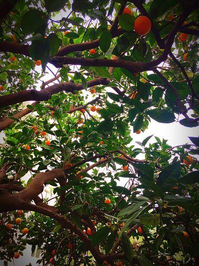 Oranges Orangengarten