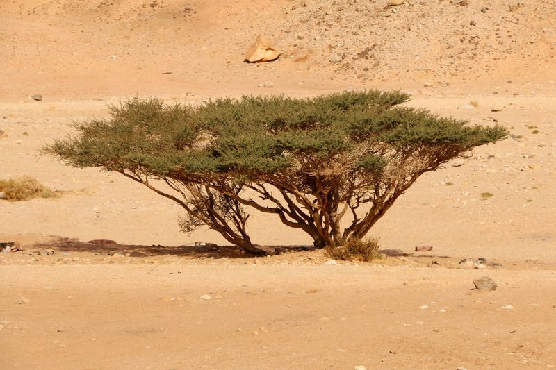 Tree in the desert Sand Nature Outdoors Sand Dune Day Beauty In Nature Landscape Hiking Desert Desert Landscape Desert Plants Tree Dune Israel Israel Deseret Negev  Negev Desert Naqab Israel Negav Israel Naqab Middle East Middle Eastern ASIA Middle Eastern Asia Israel Negev Women Around The World Lost In The Landscape Perspectives On Nature