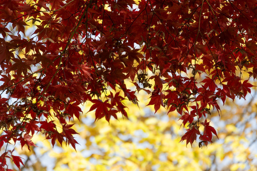 autumn landscape at Janggye Tourism Place in Okcheon, Chungbuk, South Korea Autumn Autumn Leaves Janggye Okcheon Autumn Autumn Collection 2017 Beauty In Nature Branch Change Close-up Day Focus On Foreground Fragility Growth Leaf Low Angle View Maple Maple Leaf Maple Leaves Maple Tree Nature No People Outdoors Scenics Tree