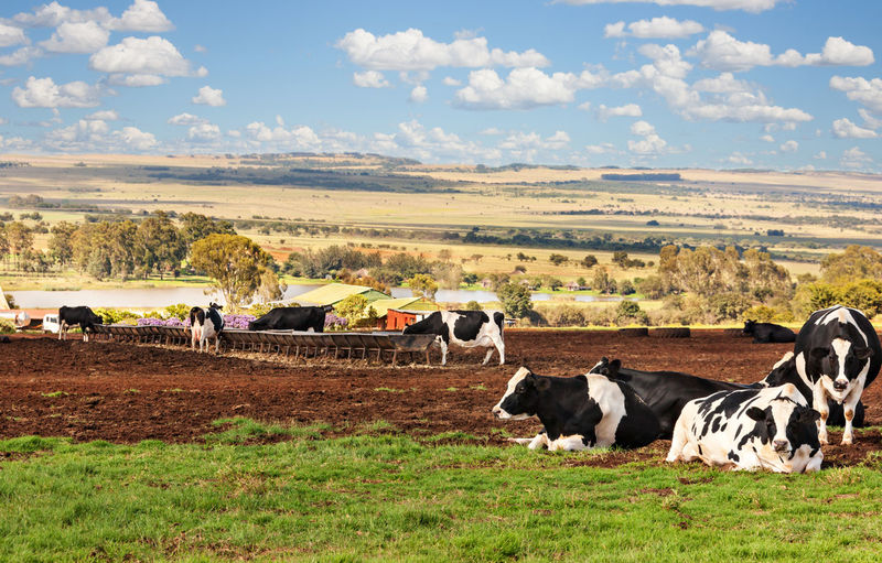 Animal Themes Beauty In Nature Cattle Cow Day Domestic Animals Farm Animal Field Grass Grazing Landscape Large Group Of Animals Livestock Mammal Nature No People Outdoors Sky