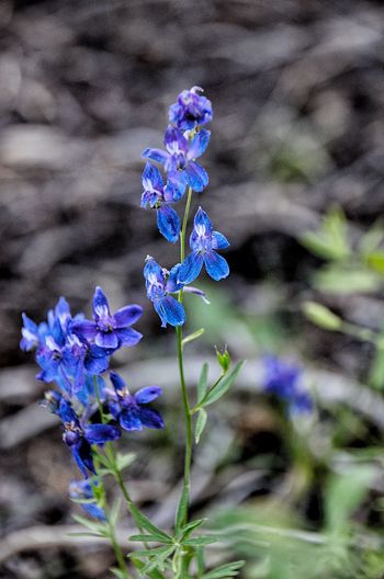 Blue flowers near Sonora ca Purple Plant Fragility Vulnerability  Flower Close-up Flowering Plant Growth Nature Freshness Beauty In Nature No People Inflorescence Blue Petal Day Focus On Foreground Flower Head Outdoors Water