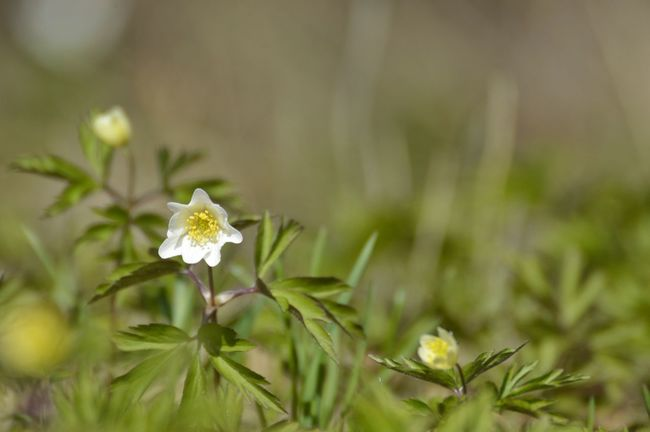 wood anemone Green Color White Flower Wood Anemone Wood Anemones Nature Photography Nature Nature_collection Selective Focus Outdoors Spring Sunshine Flower Head Flower Uncultivated Springtime Close-up Plant Wildflower Flowering Plant Plant Part In Bloom Botany Plant Life Blossom Stamen Blooming