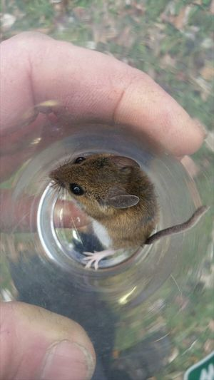 Field Mouse Mouse Catchandrelease Ohio, USA Telling Stories Differently