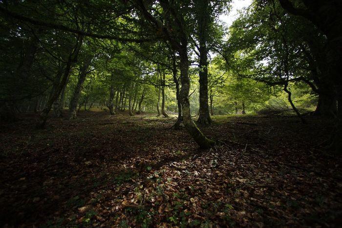 Luces y sombras en el hayedo Haya Bosque Asturias Picos De Europa