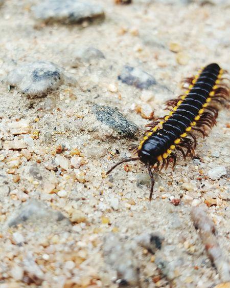 Centipede on sand