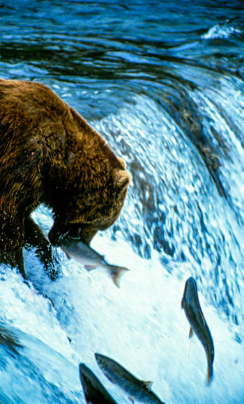 Alaska Bear Beauty In Nature Blue Close-up Day Motion Nature No People Outdoors Rippled Tranquility Water Waterfall Wildlife