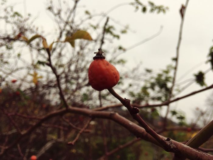 Hip Fruit Plant Focus On Foreground Branch Rose Hip Close-up Day Outdoors Nature Beauty In Nature