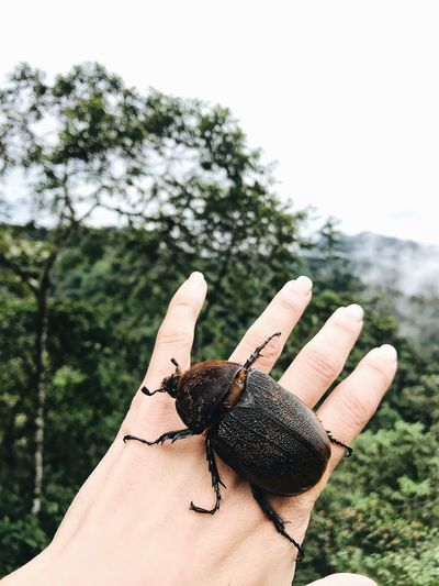 Animal Wildlife Animals In The Wild One Animal Animal Themes Insect Animal Human Hand Focus On Foreground Human Body Part Hand One Person Close-up Real People Day Plant Finger Nature Human Finger Body Part Outdoors Beetle Beetle Insect Nature Dung Beetle South America Rainforest Mashpi Forest