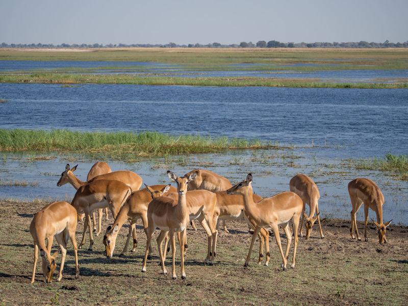 Animal Wildlife Africa African National Park Safari River Botswana Chobe Chobe National Park Chobe River Gazelle Antelope Impala