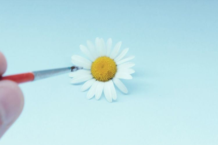 Cropped hand holding paintbrush by white daisy flower against white background