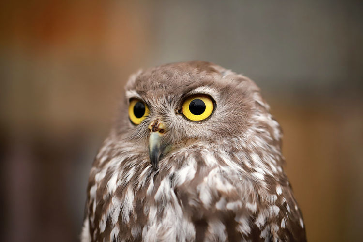 Yellow eyes Owl Animal Themes Bird Animal One Animal Bird Of Prey Vertebrate Animal Wildlife Animals In The Wild Portrait Close-up Focus On Foreground Animal Body Part Looking At Camera Day No People Yellow Eyes Animal Head  Owl Animal Eye Eye Beak Falcon - Bird Eagle