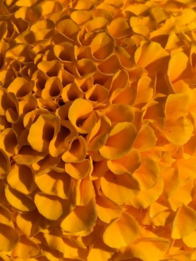 Orange yellow crushed kilushieness Full Frame Backgrounds Yellow Plant No People Nature Close-up Growth Freshness Large Group Of Objects Flower Sunlight Beauty In Nature Orange Color Abundance Flowering Plant High Angle View Outdoors Day