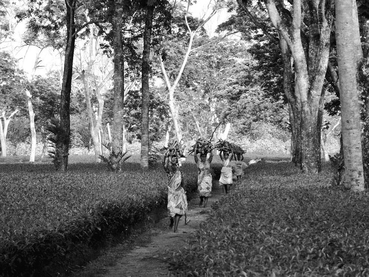 Tree Real People Nature Walking Outdoors Lifestyles People Sky Women Working Women B&W Collections B&w Photography Tea Plantation  Rural Scene Agriculture Growth Cloud - Sky Tranquility The Photojournalist - 2017 EyeEm Awards