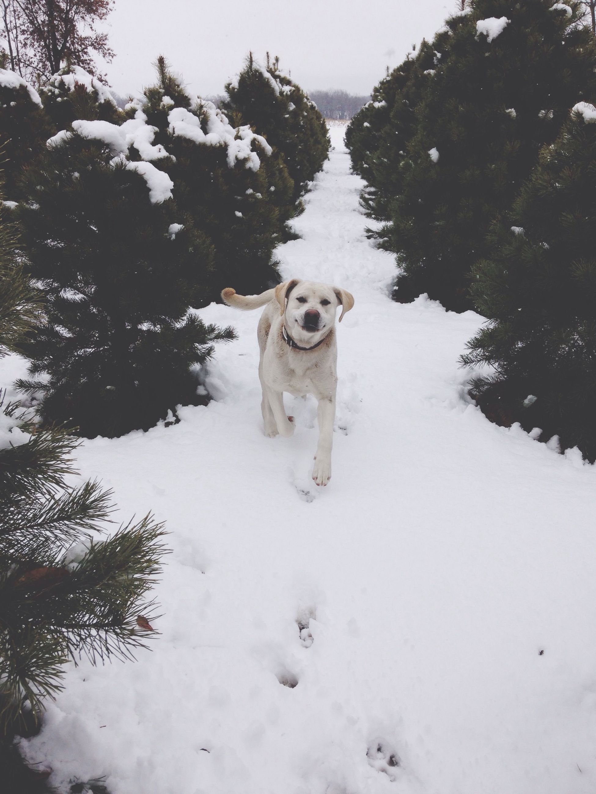 domestic animals, animal themes, mammal, pets, one animal, dog, snow, winter, cold temperature, white color, tree, looking at camera, field, portrait, season, weather, vertebrate, pet collar, nature, animal