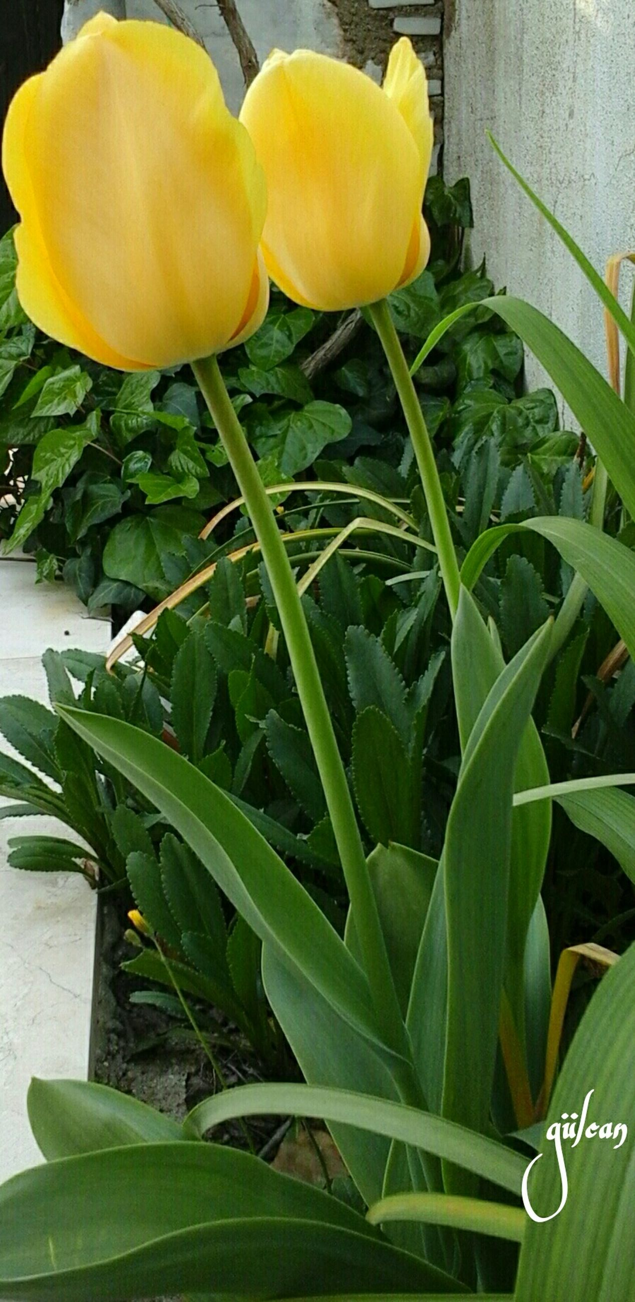 flower, yellow, freshness, fragility, leaf, plant, petal, growth, green color, flower head, close-up, nature, potted plant, front or back yard, tulip, stem, beauty in nature, day, high angle view, blooming