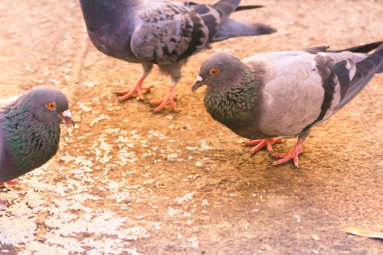 A flock of pigeons sitting in a summer Park. Gray Dove on Beautiful sunny day. Freedom Peace Concept. Selective focus on 1 pigeon bird in a group. Snapped in international peace day 2017 Bird Animal Themes Vertebrate Animal Group Of Animals Animal Wildlife Animals In The Wild Pigeon Day Perching Nature Two Animals Outdoors Close-up Farm Animal At Home Dove - Bird Mourning Dove Baby Chicken Sparrow Feather  Parrot Raven - Bird Young Bird Duckling Preening Infant Kingfisher Chicken - Bird Cygnet