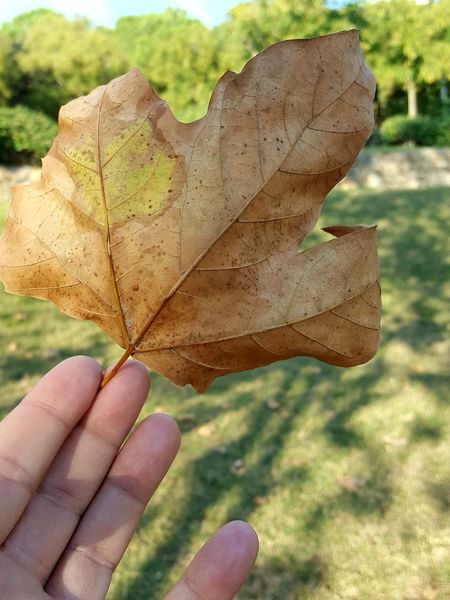 EyeEm Selects Human Hand Human Body Part Leaf Day Nature Close-up Human Finger Outdoors Focus On Foreground One Person Autumn Plant Real People Beauty In Nature Maple People EyeEmNewHere Nature Autumn Beauty In Nature No People Tranquil Scene See The Light