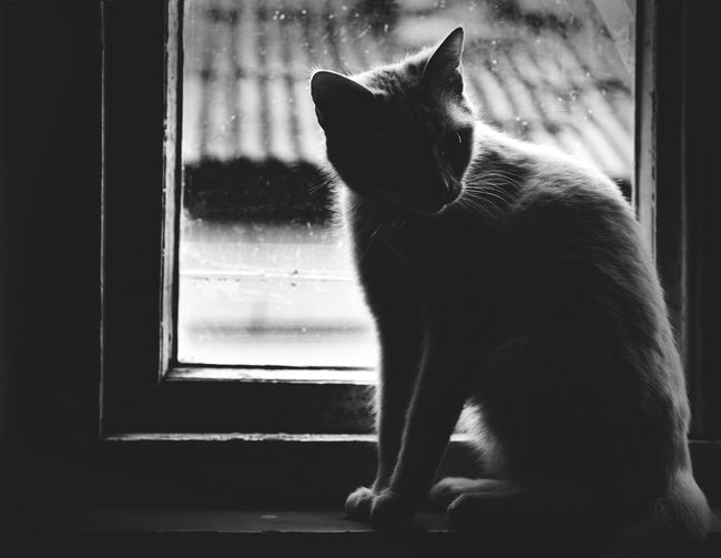 Cat Window Pets Domestic Domestic Animals Mammal Cat Feline Animal One Animal Animal Themes Domestic Cat Glass - Material Transparent Vertebrate Indoors  No People Window Sill Sitting Day Looking Through Window Whisker Window Frame